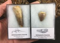 Spinosaurus & Mosasaur Tooth #01