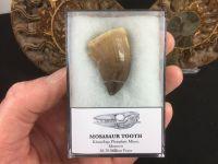 Large Mosasaur Tooth #04