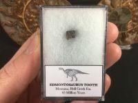 Edmontosaurus Tooth #03