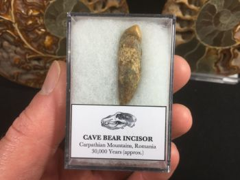 Cave Bear Tooth (Incisor) #03