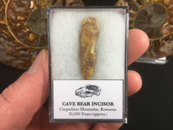 Cave Bear Tooth (Incisor) #04