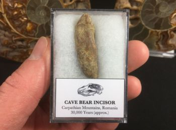 Cave Bear Tooth (Incisor) #05
