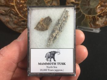 Mammoth Tusk #14