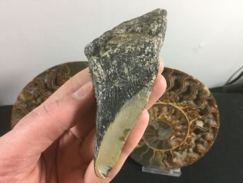 Megalodon Tooth - 4.13 inch #L19