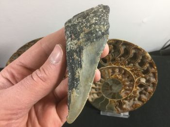 Megalodon Tooth - 3.94 inch #L20