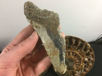 Megalodon Tooth - 5.19 inch #L21