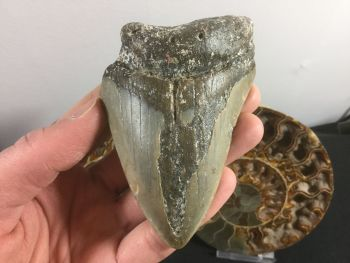 Megalodon Tooth - 3.88 inch #L23
