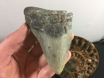 Megalodon Tooth - 4.13 inch #L24