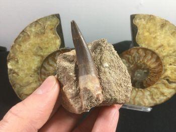 Plesiosaur Tooth - 2.25 inch #02