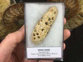 Pine Cone (Equicalastrobus) #01