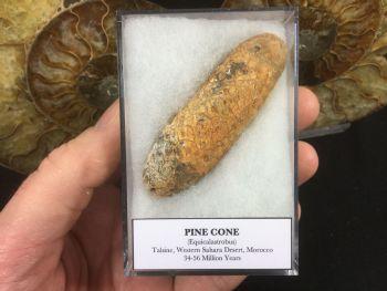 Pine Cone (Equicalastrobus) #02