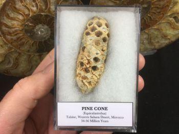 Pine Cone (Equicalastrobus) #04