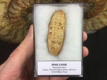 Pine Cone (Equicalastrobus) #06