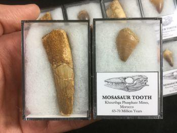 Spinosaurus & Mosasaur Tooth Set