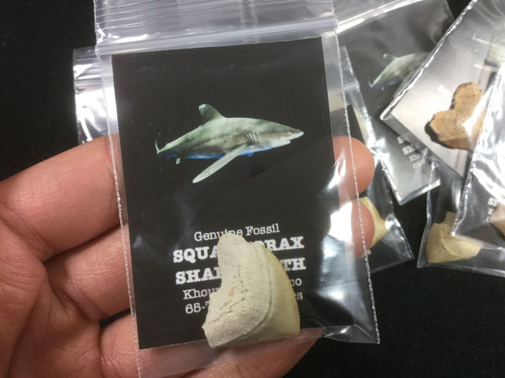 10 Squalicorax Shark Teeth
