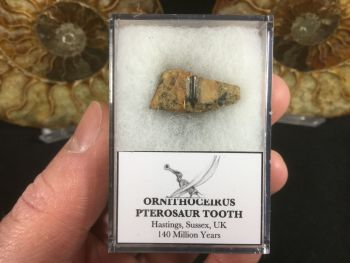 Ornithocheirus Pterosaur Tooth - Sussex, (UK) #01