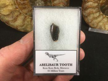 Abelisaur Dinosaur Tooth #AB06