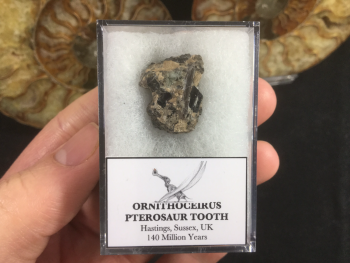 Ornithocheirus Pterosaur Tooth - Sussex, (UK) #03