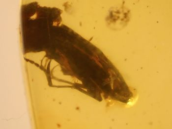 Burmite Amber with Large Beetle Inclusion #BUR03