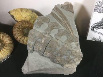 Ichthyosaur Vertebrae & Ribs, Germany