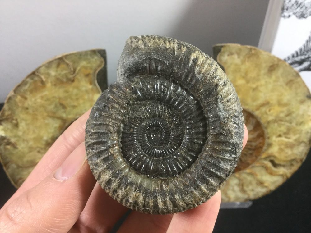 Dactylioceras Ammonite - 5.9cm #35