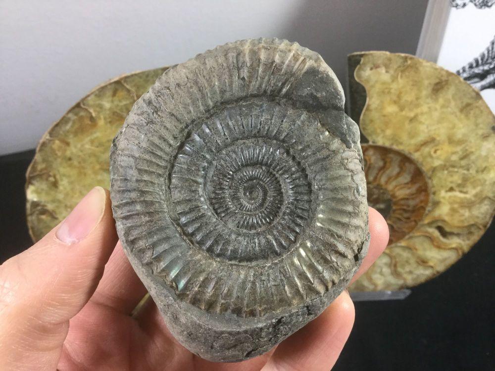 Dactylioceras commune Ammonite - 6.7cm #24