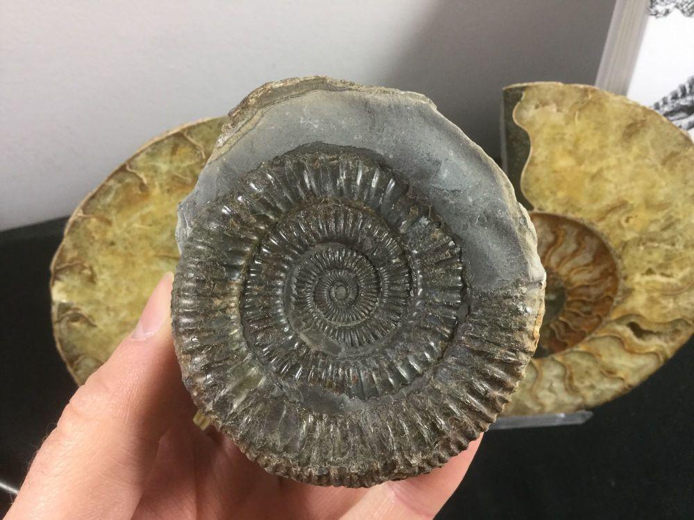 Dactylioceras commune Ammonite - 7cm #40