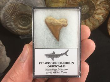 Palaeocarcharodon orientalis Shark Tooth #01