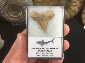 Palaeocarcharodon orientalis Shark Tooth #02