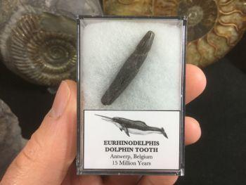 Eurhinodelphis Dolphin Tooth #02