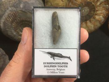 Eurhinodelphis Dolphin Tooth #03