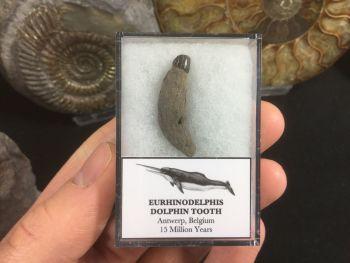 Eurhinodelphis Dolphin Tooth #05