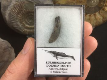 Eurhinodelphis Dolphin Tooth #07
