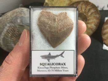 A-Grade Squalicorax Shark Tooth #01