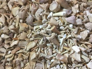 Khouribga Fossil Mix (Shark, Enchodus, Mosasaur)