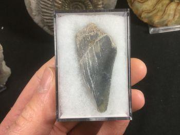 Megalodon Tooth, North Carolina #12