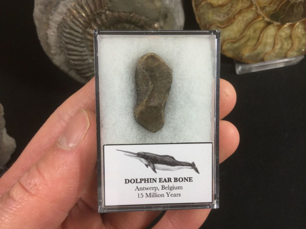 Dolphin Ear Bone #01