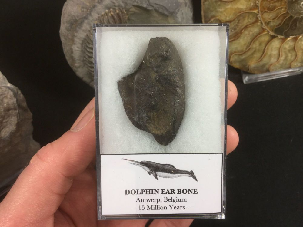 Dolphin Ear Bone #03
