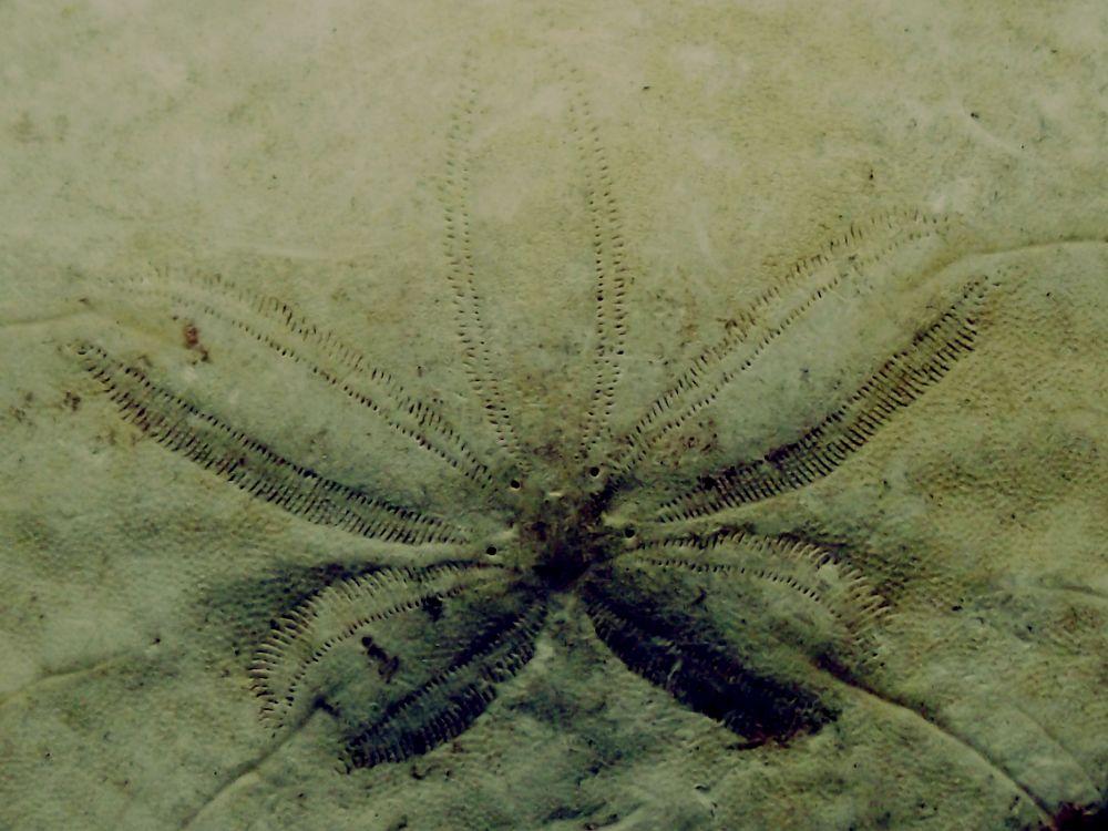 Echinoids