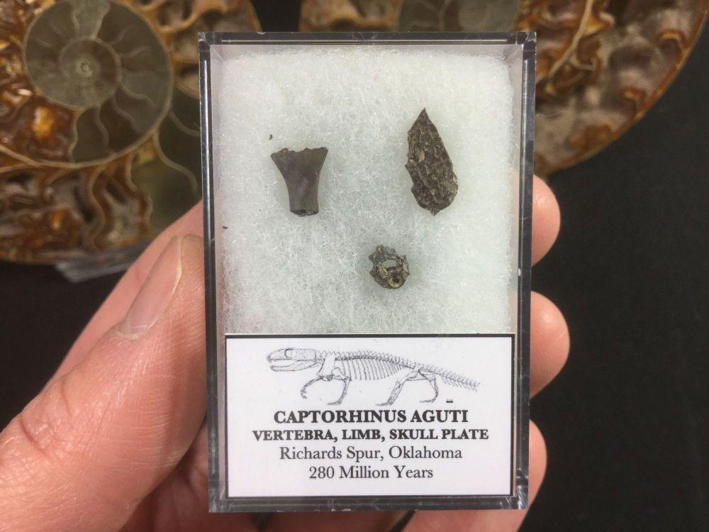 Captorhinus