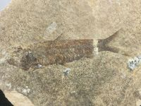 Fossil Fish, Green River Formation #09