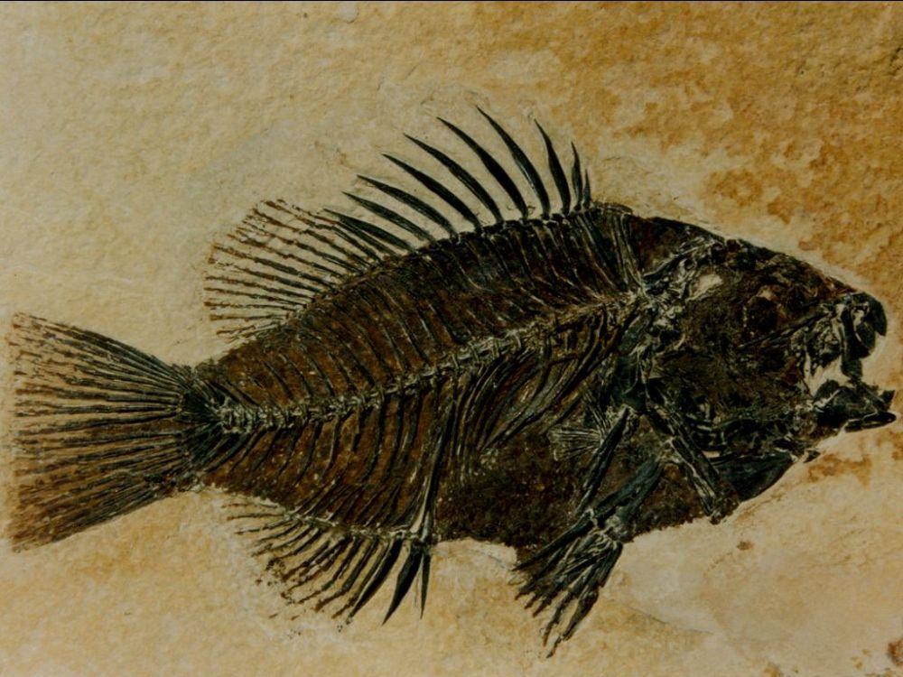 USA - Fossil Fish