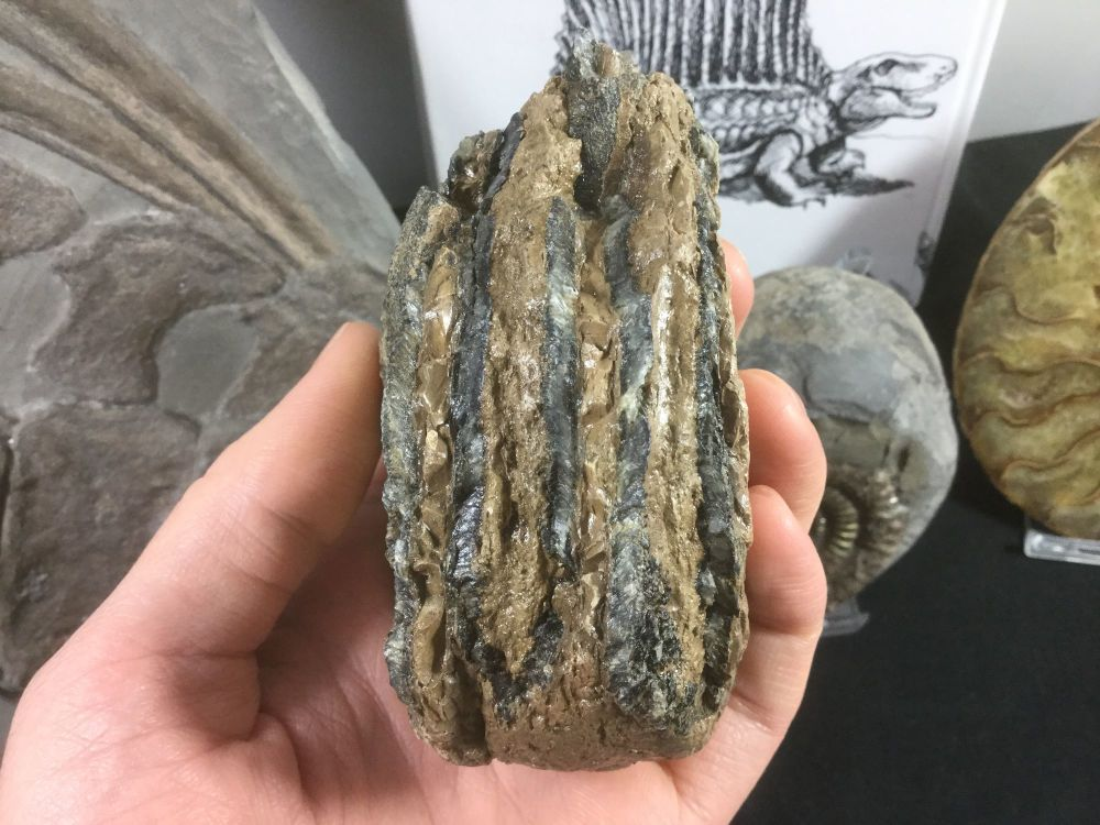 Southern Mammoth Tooth, Serbia #03
