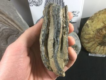 Southern Mammoth Tooth, Serbia #04