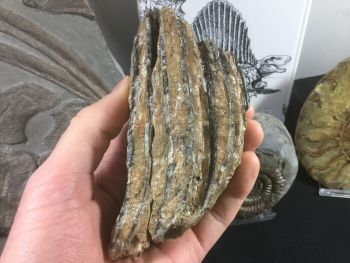 Southern Mammoth Tooth, Serbia #05