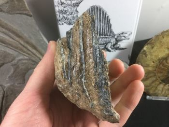 Southern Mammoth Tooth, Serbia #06
