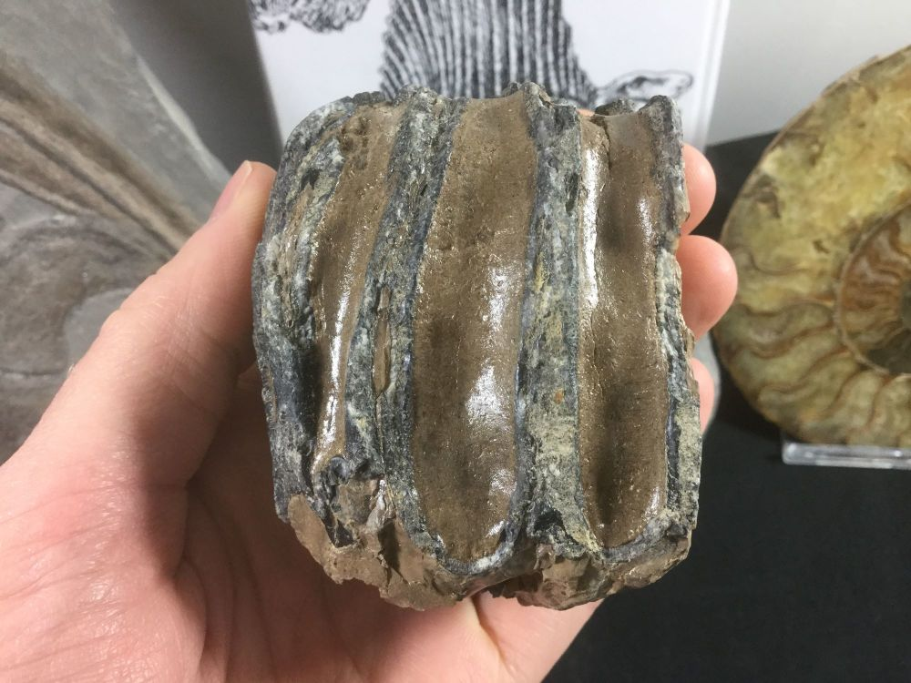 Southern Mammoth Tooth, Serbia #07
