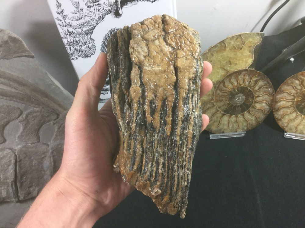 Woolly Mammoth Tooth #04