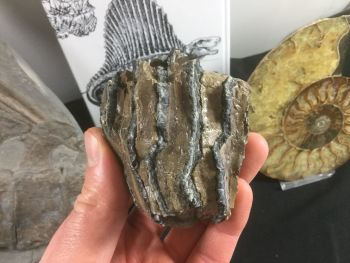 Southern Mammoth Tooth, Serbia #08
