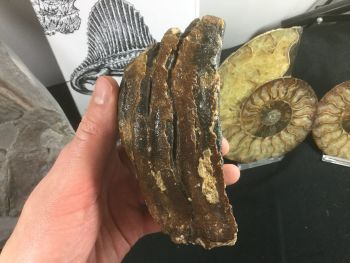 Woolly Mammoth Tooth #06